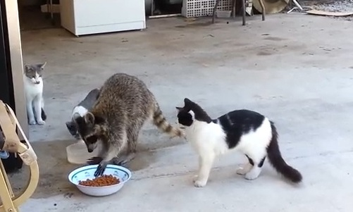 Cat Stealing Food Pictures